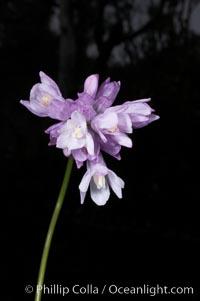 Wild hyacinth blooms in spring, Batiquitos Lagoon, Carlsbad, Dichelostemma capitatum capitatum