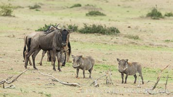 Wildebeest and Warthog, Olare Orok Conservancy, Kenya, Connochaetes taurinus