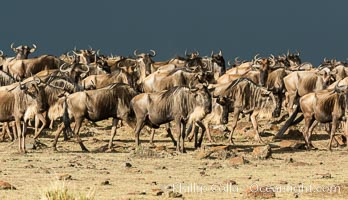 Wildebeest Herd, Maasai Mara National Reserve, Kenya. Maasai Mara National Reserve, Kenya, Connochaetes taurinus, natural history stock photograph, photo id 29782