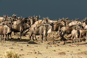 Wildebeest Herd, Maasai Mara National Reserve, Kenya. Maasai Mara National Reserve, Kenya, Connochaetes taurinus, natural history stock photograph, photo id 29783