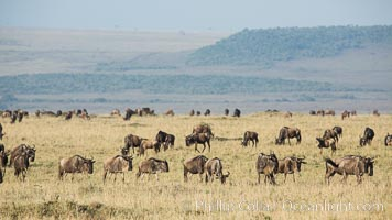 Wildebeest Herd, Maasai Mara National Reserve, Kenya. Maasai Mara National Reserve, Kenya, Connochaetes taurinus, natural history stock photograph, photo id 29888