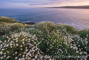 Wildflowers along the La Jolla Cove cliffs, sunrise