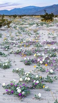 Wildflowers in Anza-Borrego Desert State Park, Oenothera deltoides, Abronia villosa, Borrego Springs, California