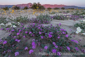 Wildflowers in Anza-Borrego Desert State Park, Abronia villosa, Borrego Springs, California