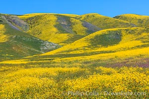 Wildflowers bloom across Carrizo Plains National Monument, during the 2017 Superbloom. Carrizo Plain National Monument, California, USA, natural history stock photograph, photo id 33235