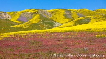Wildflowers bloom across Carrizo Plains National Monument, during the 2017 Superbloom. Carrizo Plain National Monument, California, USA, natural history stock photograph, photo id 33237