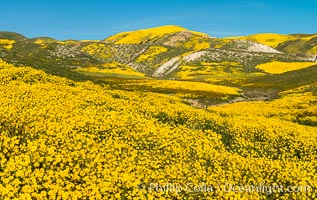 Wildflowers bloom across Carrizo Plains National Monument, during the 2017 Superbloom. Carrizo Plain National Monument, California, USA, natural history stock photograph, photo id 33243