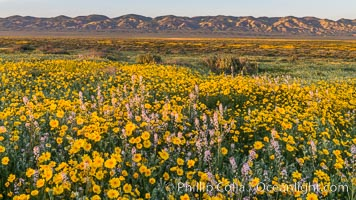 Wildflowers bloom across Carrizo Plains National Monument, during the 2017 Superbloom. Carrizo Plain National Monument, California, USA, natural history stock photograph, photo id 33246
