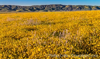Wildflowers bloom across Carrizo Plains National Monument, during the 2017 Superbloom. Carrizo Plain National Monument, California, USA, natural history stock photograph, photo id 33255