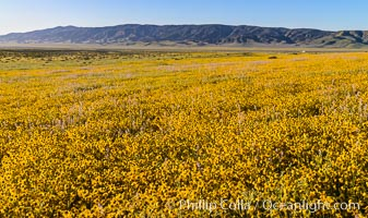 Wildflowers bloom across Carrizo Plains National Monument, during the 2017 Superbloom. Carrizo Plain National Monument, California, USA, natural history stock photograph, photo id 33256