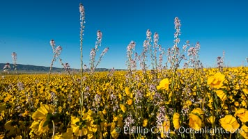 Wildflowers bloom across Carrizo Plains National Monument, during the 2017 Superbloom. Carrizo Plain National Monument, California, USA, natural history stock photograph, photo id 33257