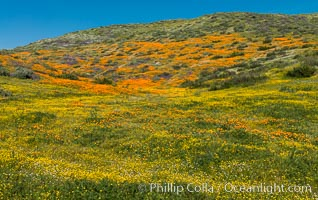 Wildflowers carpets the hills at Diamond Valley Lake, Hemet. Hemet, California, USA, natural history stock photograph, photo id 33139