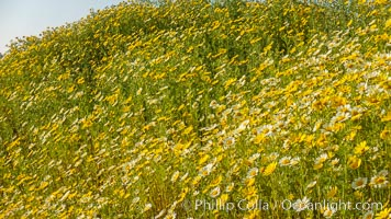 Wildflowers, Rancho La Costa, Carlsbad. Rancho La Costa, Carlsbad, California, USA, natural history stock photograph, photo id 33222