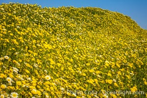 Wildflowers, Rancho La Costa, Carlsbad. Rancho La Costa, Carlsbad, California, USA, natural history stock photograph, photo id 33224