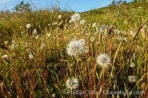 Wildflowers, Rancho La Costa, Carlsbad