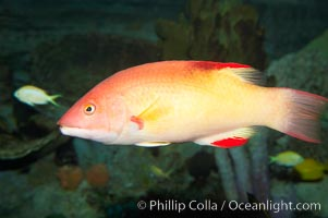 Unidentified wrasse fish