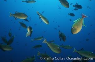 Redtail trigger fish, Revilligigedos, Xanthichthys mento