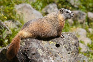 Yellow-bellied marmots can often be found on rocky slopes, perched atop boulders. Yellowstone National Park, Wyoming, USA, Marmota flaviventris, natural history stock photograph, photo id 13055