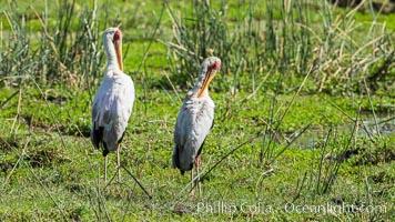 Yellow-billed stork, Meru National Park, Kenya, Mycteria ibis