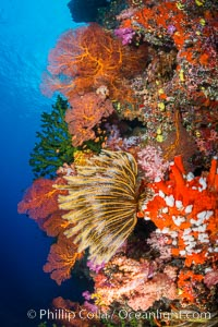 Yellow crinoid, green fan coral and red gorgonian on colorful and pristine coral reef, Fiji, Dendronephthya, Crinoidea, Gorgonacea, Vatu I Ra Passage, Bligh Waters, Viti Levu  Island