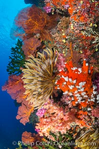 Yellow Crinoid with Sea Fan Gorgonians and Dendronephthya Soft Corals on Reef, Fiji. Vatu I Ra Passage, Bligh Waters, Viti Levu  Island, Fiji, Dendronephthya, Crinoidea, Gorgonacea, natural history stock photograph, photo id 31461