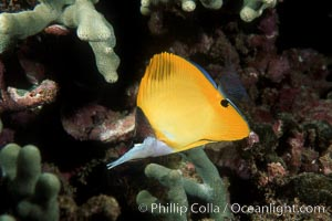 Yellow longnose butterfly fish (forceps butterfly). Maui, Hawaii, USA, Forcipiger flavissimus, natural history stock photograph, photo id 00286