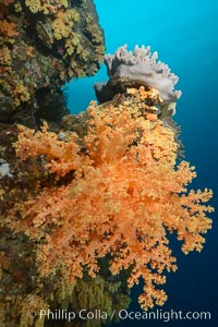 Yellow soft corals cover pristine south pacific coral reef, extending in strong ocean currents to capture passing planktonic food, Dendronephthya