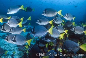 Yellow-tailed surgeonfish, Devils Crown. Floreana Island, Galapagos Islands, Ecuador, Prionurus laticlavius, natural history stock photograph, photo id 01856