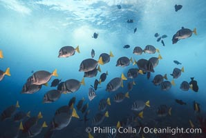Yellow-tailed surgeonfish. Galapagos Islands, Ecuador, Prionurus laticlavius, natural history stock photograph, photo id 01857