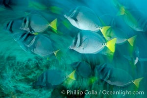 Yellowtail surgeonfish, motion blur, Prionurus laticlavius, Cousins