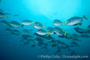 Yellowtail surgeonfish, Prionurus laticlavius, Cousins