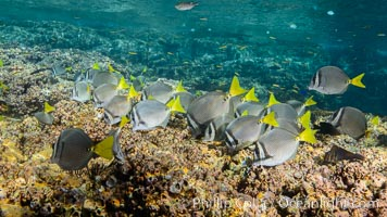 Yellow-tailed surgeonfish foraging on reef for food, Los Islotes, Baja California, Mexico