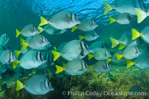Yellow-tailed surgeonfish schooling, Sea of Cortez, Baja California, Mexico. Sea of Cortez, Baja California, Mexico, Prionurus laticlavius, natural history stock photograph, photo id 27573