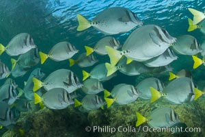 Yellow-tailed surgeonfish schooling, Sea of Cortez, Baja California, Mexico, Prionurus laticlavius