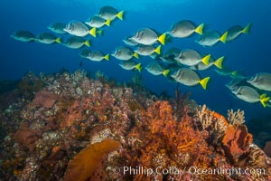 Yellow-tailed surgeonfish schooling over reef at sunset, Sea of Cortez, Baja California, Mexico