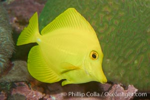 Yellow tang, Zebrasoma flavescens