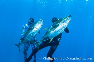 Joe Tobin (left) and James Tate (right) with yellowfin tuna (approx 60 pounds each), taken by breathold diving with band-power spearguns near Abalone Point.  Guadalupe Island, like other Eastern Pacific islands, is a fine place in the world to spear large yellowfin tuna.  July 2004, Thunnus albacares, Guadalupe Island (Isla Guadalupe)