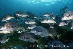 North Pacific Yellowtail grunt, Anisotremus interruptus, Cocos Island