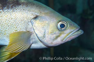 Yellowtail rockfish are found the eastern Aleutian island as far south as southern California, and can live over 60 years, Sebastes flavidus