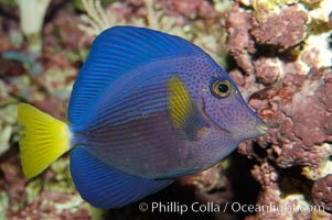 Yellowtail tang, Zebrasoma xanthurum