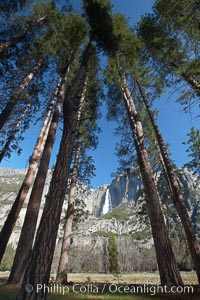 Yosemite Falls and tall pine trees, viewed from Cook's Meadow, Yosemite National Park, California