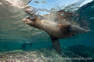 Young California sea lion pup underwater, Sea of Cortez. Sea of Cortez, Baja California, Mexico, Zalophus californianus, natural history stock photograph, photo id 31224