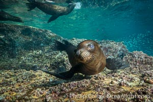 Young California sea lion pup underwater, Sea of Cortez. Sea of Cortez, Baja California, Mexico, Zalophus californianus, natural history stock photograph, photo id 31239