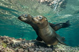 Young California sea lion pups underwater, Sea of Cortez, Mexico, Zalophus californianus