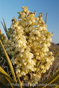 Fruit cluster of the Mojave yucca plant, Yucca schidigera, Joshua Tree National Park, California