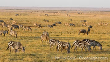 Zebra, Amboseli National Park, Kenya. Amboseli National Park, Kenya, Equus quagga, natural history stock photograph, photo id 29595