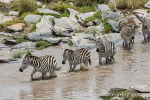 Zebra crossing river, Maasai Mara National Reserve, Kenya, Equus quagga