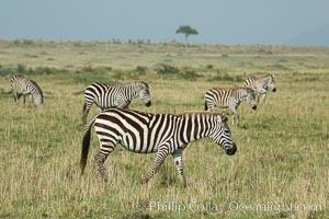 Zebra, Maasai Mara National Reserve, Kenya, Equus quagga