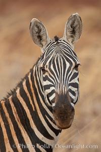 Zebra, Meru National Park, Kenya. Meru National Park, Kenya, Equus quagga, natural history stock photograph, photo id 29763