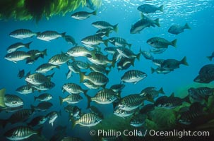 Zebra perch amid kelp forest, Hermosilla azurea, Macrocystis pyrifera, San Benito Islands (Islas San Benito)
